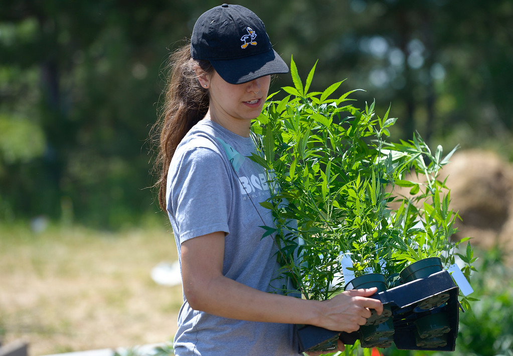 . Franchesca Abeyta carries hemp plants into a hemp field in Lafayette Monday. Bob Sievers, a former CU regent and current part time professor, is growing and studying hemp varieties to better understand their medicinal qualities. To view more photos and a video visit timescall.com. Lewis Geyer/Staff Photographer July 09, 2018
