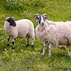 Scottish Blackfaced sheep on the  Isle of Skye, Scotland