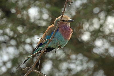 Tarangire National Park - The beautiful Lilac-breasted Roller