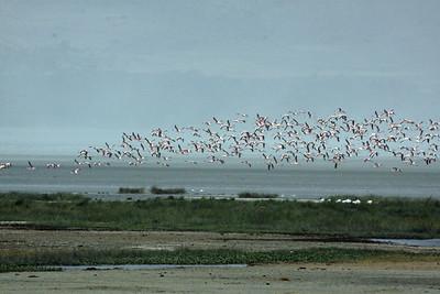 Ngorongoro Crater - Soaring Lesser Flamingos