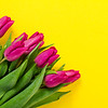 Fresh beautiful lila tulips on yellow colorful background. Spring concept. Horizontal, top view with copy space.