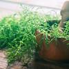 Equisetum medicinal plant