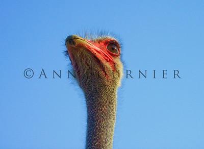 ABI05_Ostrich01b
