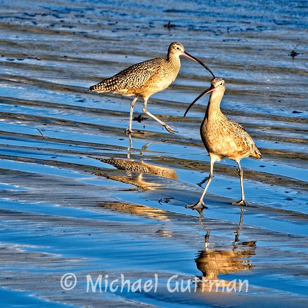 Long-Billed Curlew - Morro Bay, California