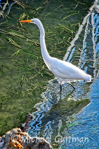 Great Egret - Morro Bay, California