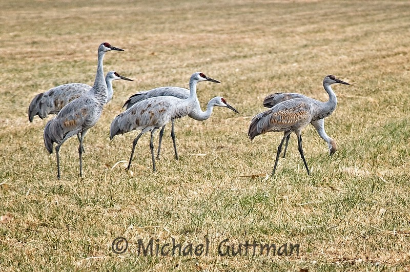 Sandhill Cranes - Albuquerque, New Mexico