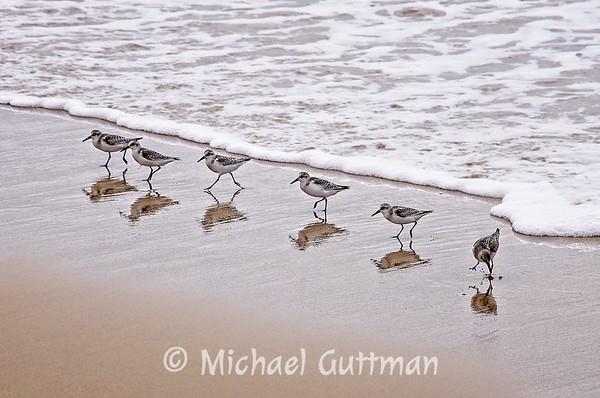 Sanderlings on the Beach - Redondo Beach, California