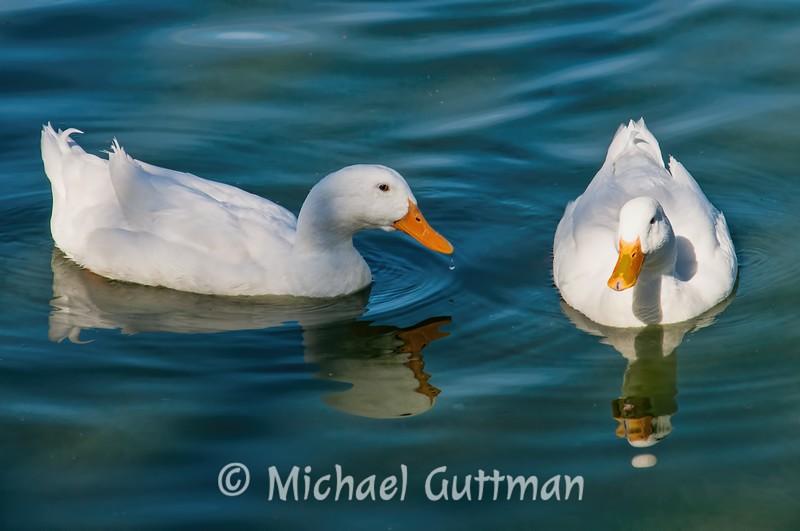 White Pekin Ducks - Albuquerque, New Mexico