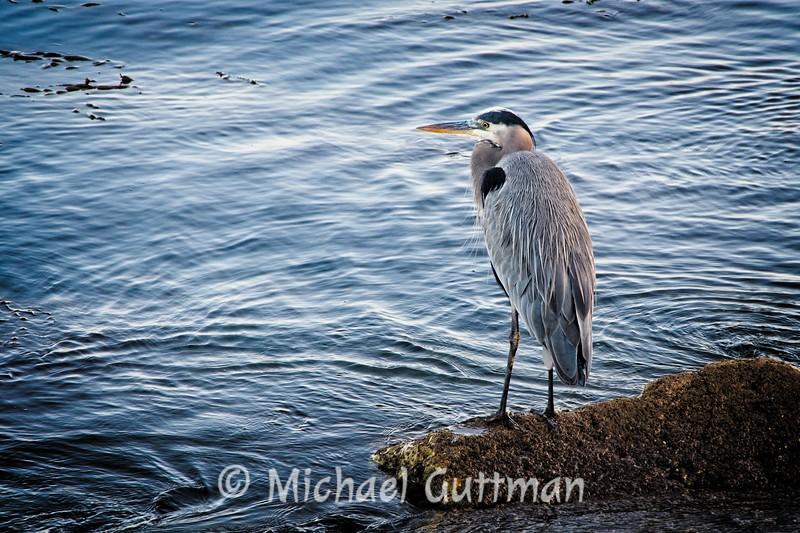 Blue Heron - Morro Bay, California