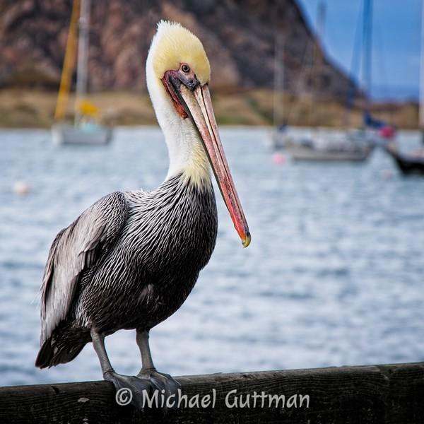 Brown Pelican - Morro Bay, California