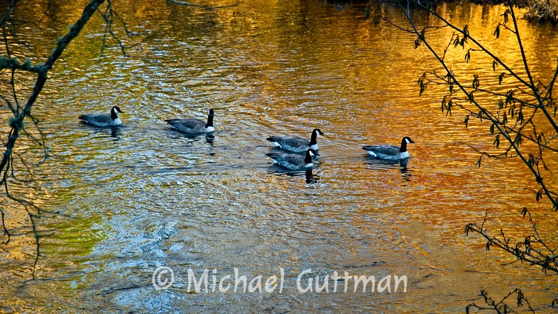 Canadian Geese - Springfield, Oregon
