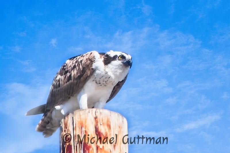 Osprey - Morro Bay, California