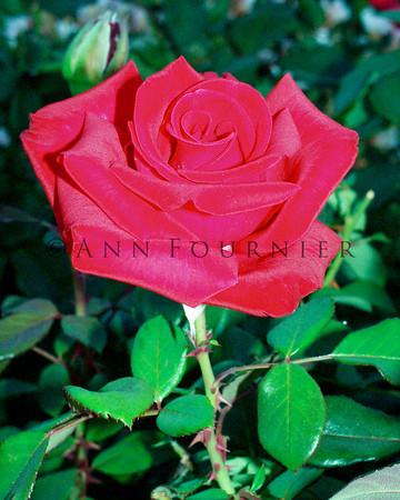 Roses - Red/White