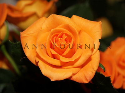 Roses - Yellow/Orange