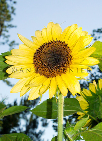 FLS13_sunflower09b