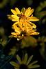 Highlight Zahara Yellow Zinnia