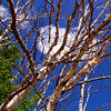 Entangled Trees