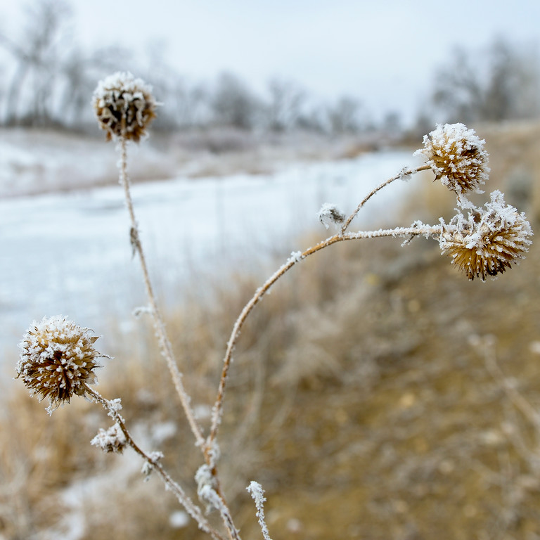 . LONGMONT, CO - FEBRUARY 11: A short walk along the St. Vrain River, from Izaak Walton Park, provided lots of photo opportunities during a frosty February morning Monday, February 11, 2019. (Photo by Lewis Geyer/Staff Photographer)