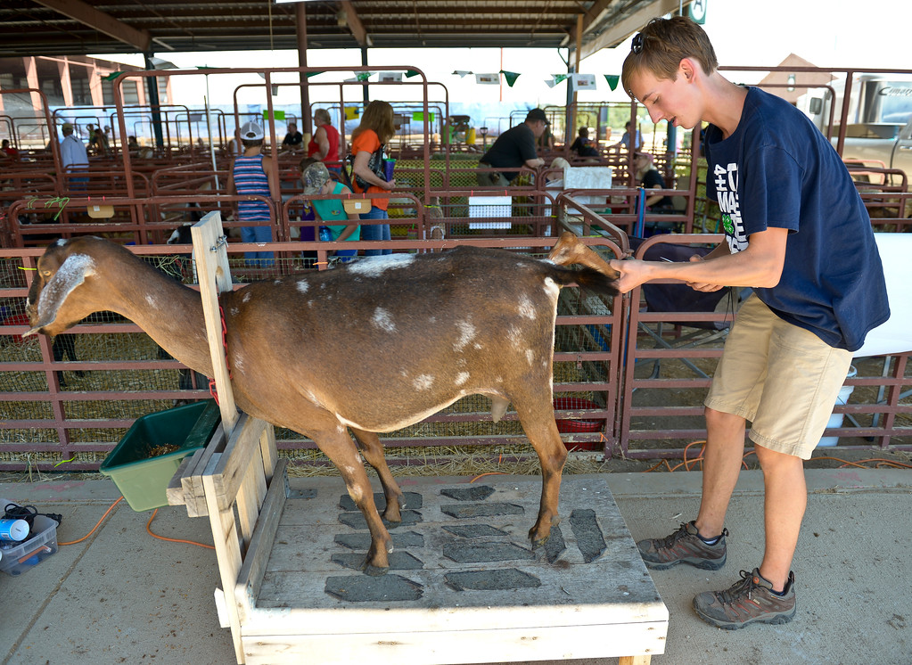 . Daniel Ford, 16, trims the hooves on Almond Joy, a Nubian goat, at the Boulder County Fair Monday. To view more photos visit timescall.com. Lewis Geyer/Staff Photographer July 31, 2017