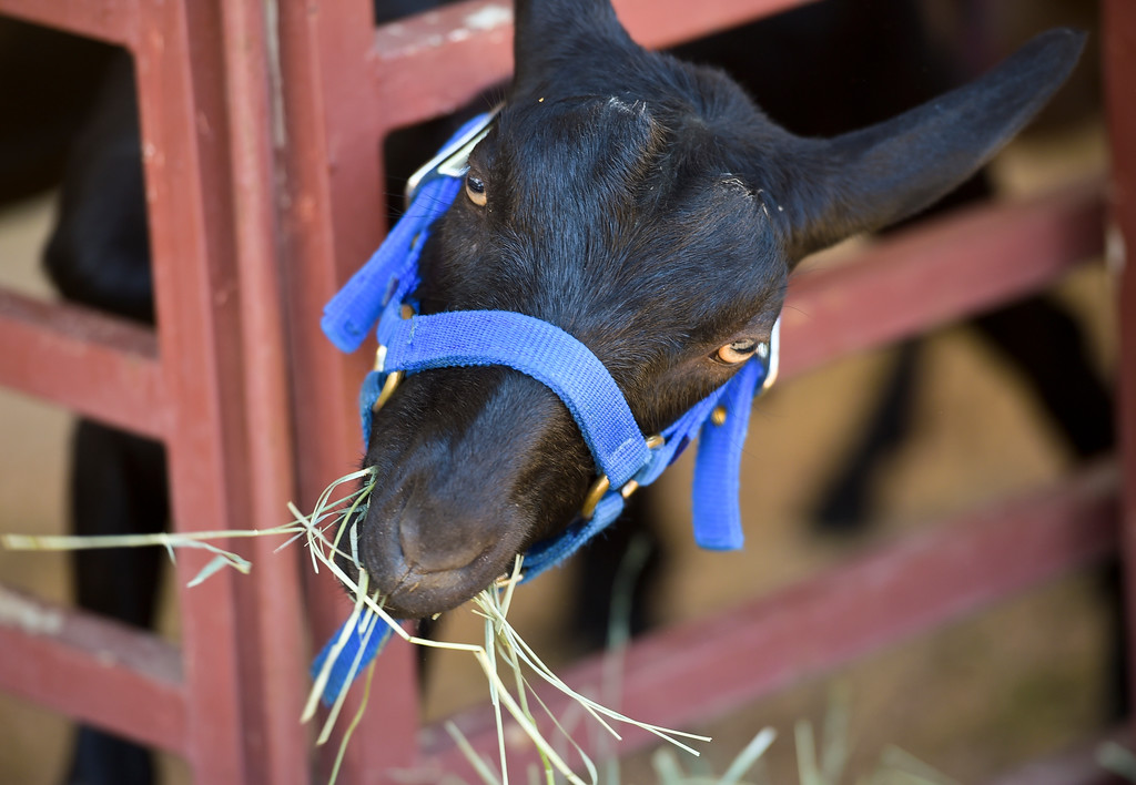 . A goat has a snack at the Boulder County Fair Monday. To view more photos visit timescall.com. Lewis Geyer/Staff Photographer July 31, 2017