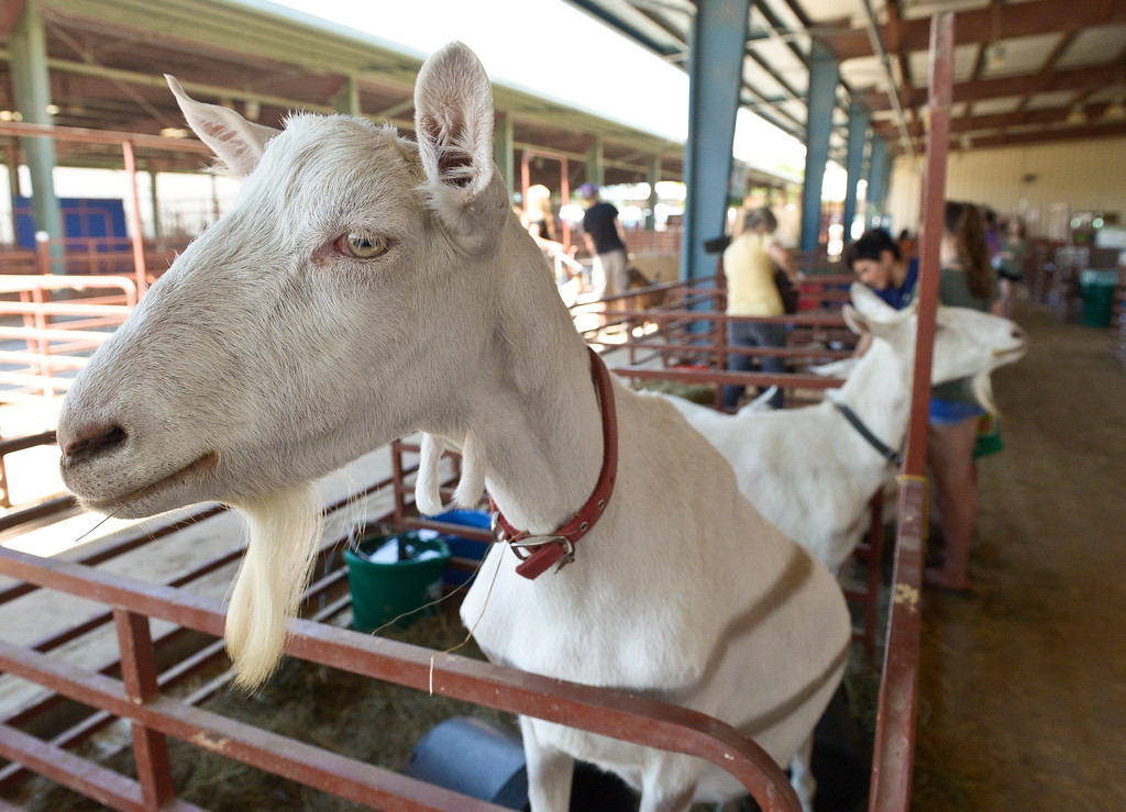 . A goat stands above its pen to get a better view at the Boulder County Fair Monday. To view more photos visit timescall.com. Lewis Geyer/Staff Photographer July 31, 2017