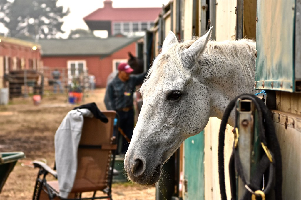 . A dappled grey racehorse seems to get a hand from a nearby trainer.  José Quezada�For Times-Standard