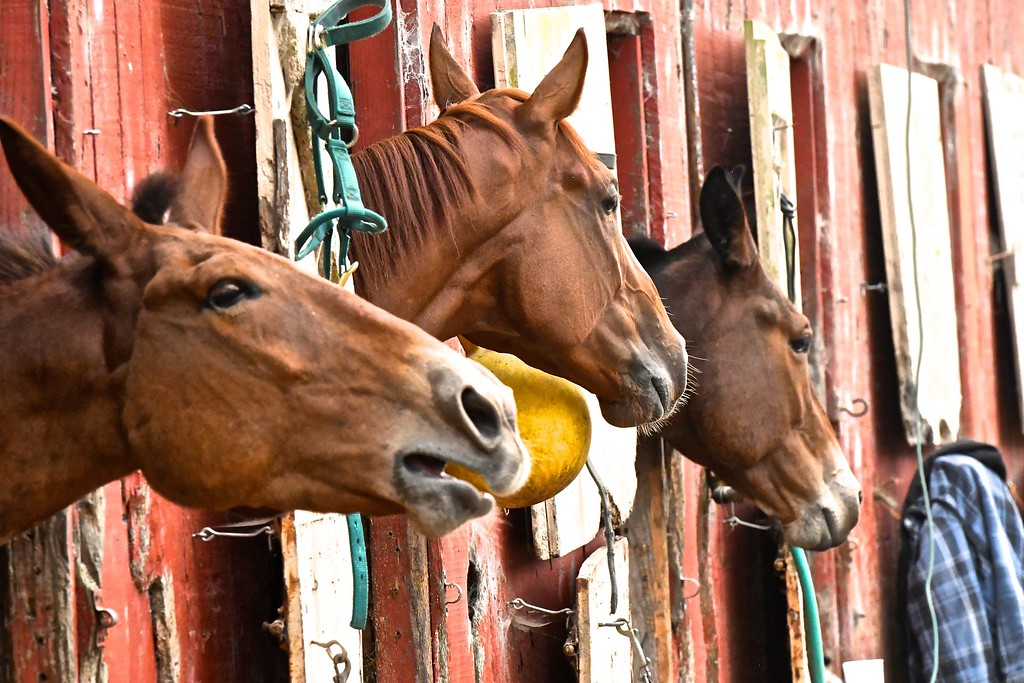 . A mule bellows out from his stall alongside fellow mule racers.  José Quezada�For Times-Standard