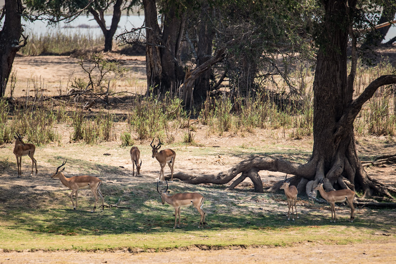 Impalas, Vwaza Marsh Wildlife Reserve