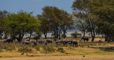 Elephants in the shade, Vwaza Marsh Wildlife Reserve