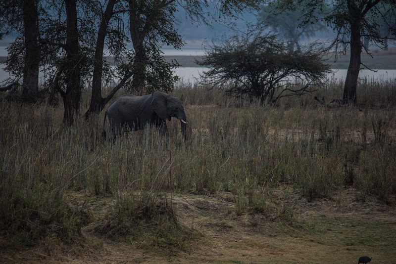 Elephant at Dusk, Vwaza Marsh Wildlife Reserve