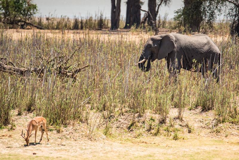 Elephant and impala, Vwaza Marsh Wildlife Reserve