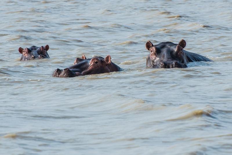 Submerged hippos, Vwaza Marsh Wildlife Reserve