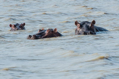 Submerged hippos, Vwaza Marsh Wildlife Reserve