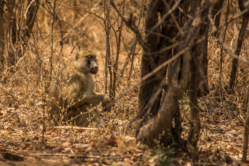 Adult baboon, Vwaza Marsh Wildlife Reserve