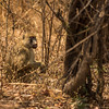 Adult baboon, Vwaza Marsh Wildlife Reserve