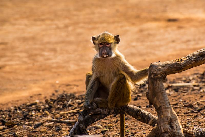 Young baboon, Vwaza Marsh Wildlife Reserve