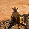Young baboon, Vwaza Marsh Wildlife Reserve