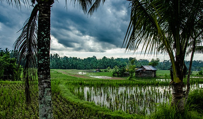 Rice Paddy, Bali, Indonesia