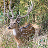 Spotted deer, Kahna National Park, India