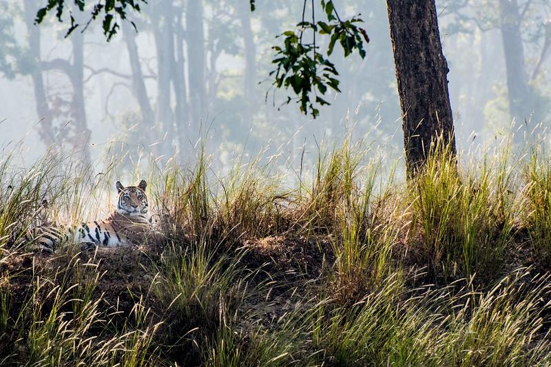 Tiger, Kahna National Park, India