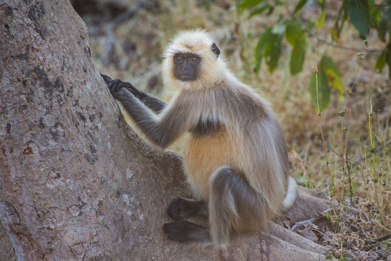 Langur monkey, Kahna National Park, India
