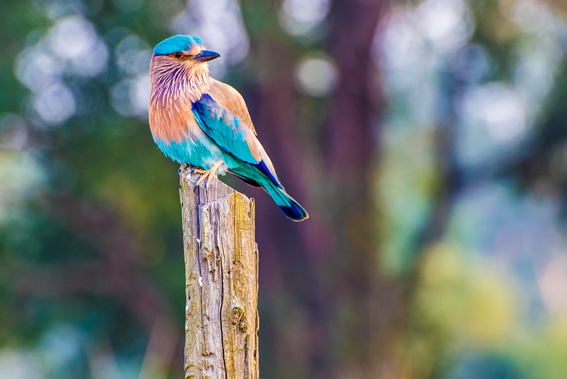 Indian Blue Roller, Kahna National Park, India