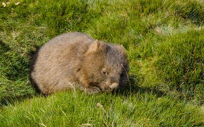 Baby Wombat, Cradle Mountain, Tasmania, Australia