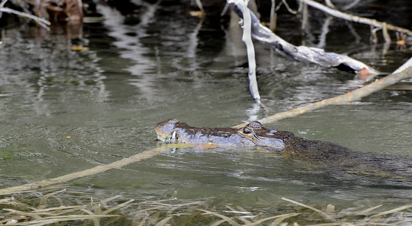 Crocodile, Lamanai, Belize