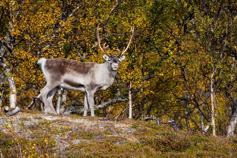 Reindeer in a high mountain meadow, near Blåhammaren, Jämtland, Sweden.