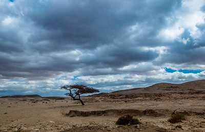 Lone Tree, Sinai, Egypt