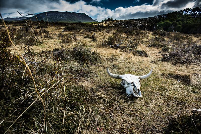 Skull, Harberton Farm, Tierra del Fuego