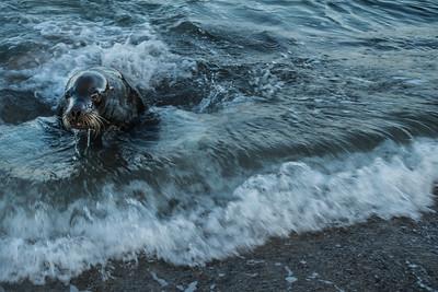 Seal emerging from the surf, Isla San Cristóbal, Galápagos