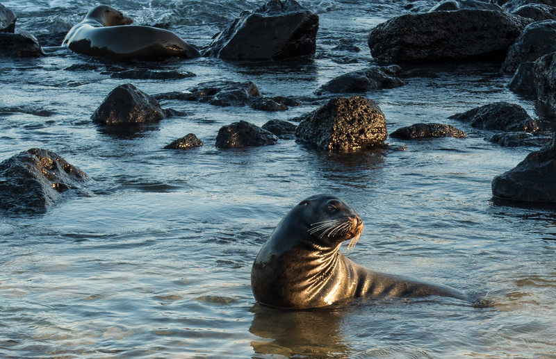 Sea Lion, Isla San Cristóbal, Galápagos