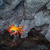 Red Crab, Isla Isabela, Galápagos